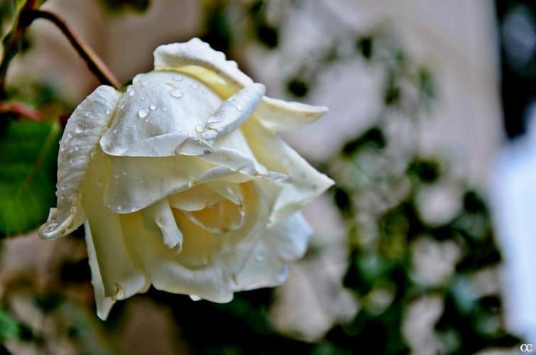 rose  white  flowers  garden  picoftheday  photooftheday  tagsforlikes ...